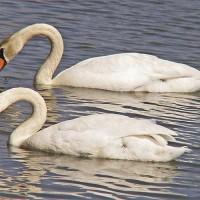 swans-lake