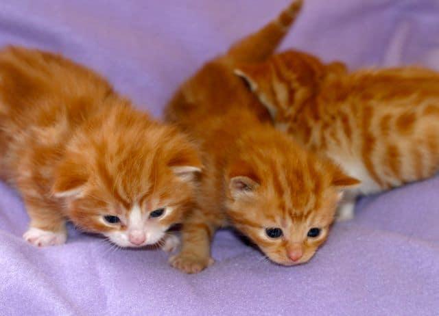 choosing a kitten male or female