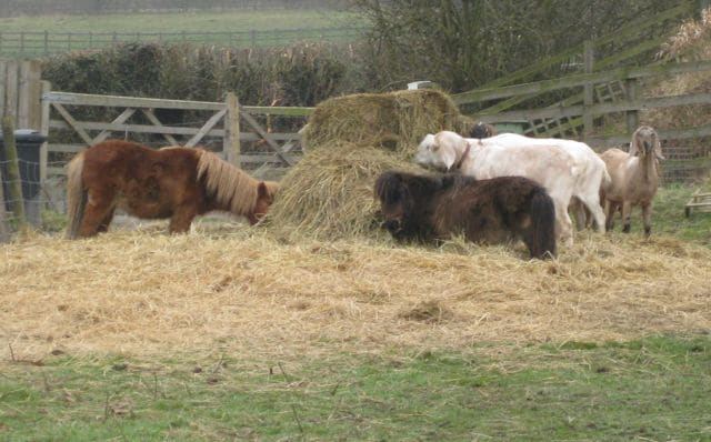 Ponies share their hay with goats