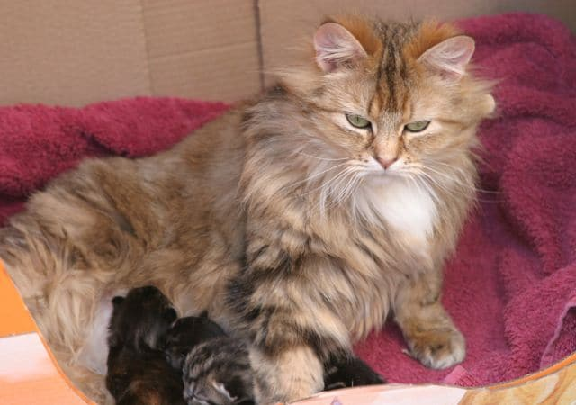 caring for a pregnant cat   pet samaritans
