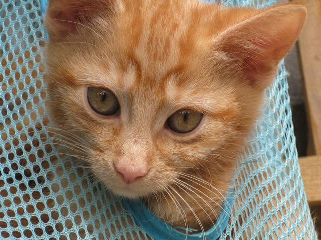 Ginger girl kitten needs a home