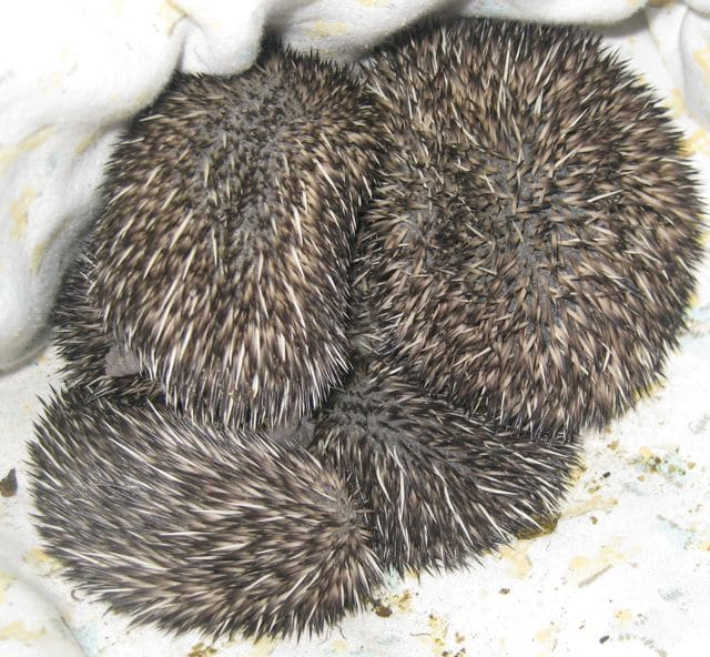 Our baby hedgehogs have very different characteristics and it's easy ...