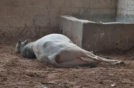 horse - down