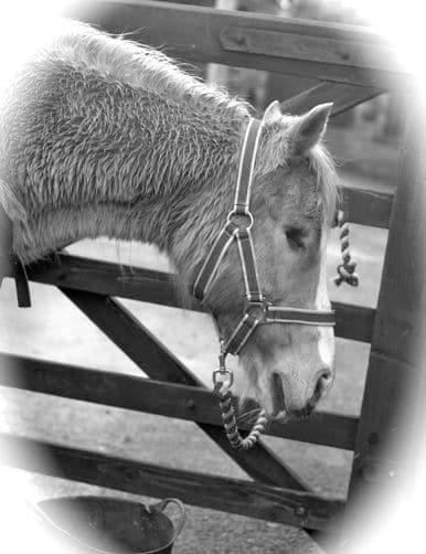 Horses - Krystal 2 b & w