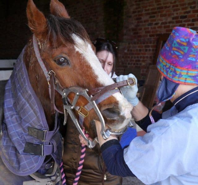 Horse dentist checks on Japonica