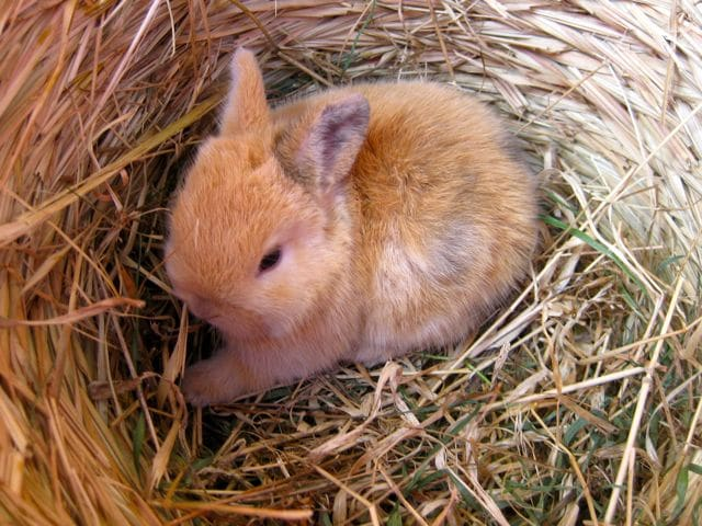 bunnies - baby ginger