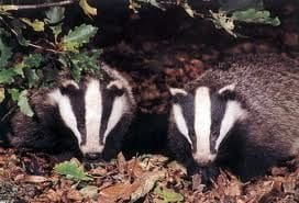 badgers 2