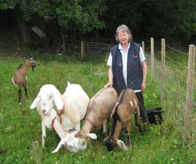 goats - grazing