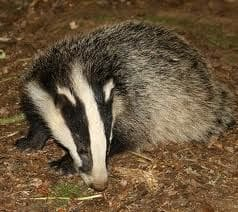 badgers 3