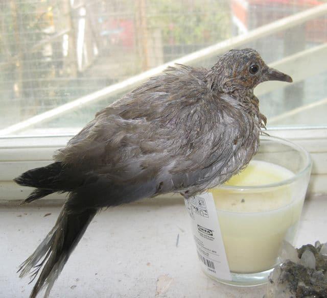 Rearing baby pigeons - Pet Samaritans
