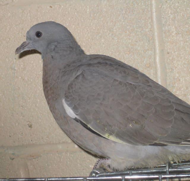 birds - pigeon Oct.