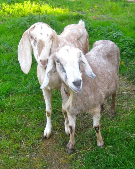goats - buffy & biscuit