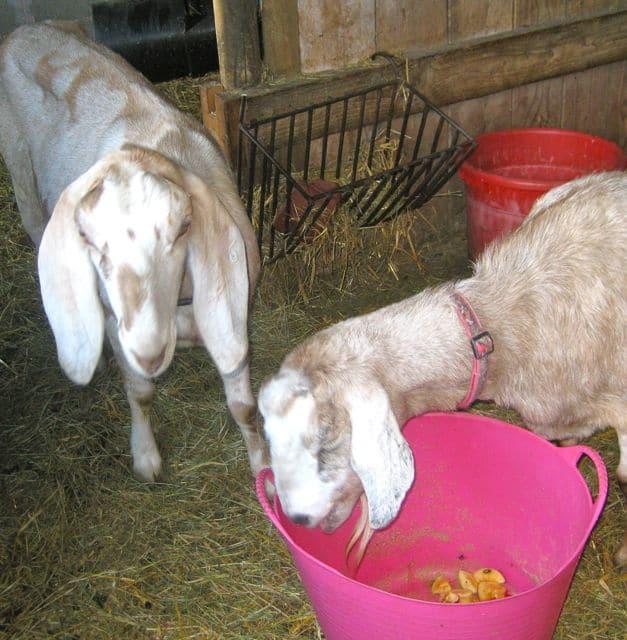 goats - windfalls 2