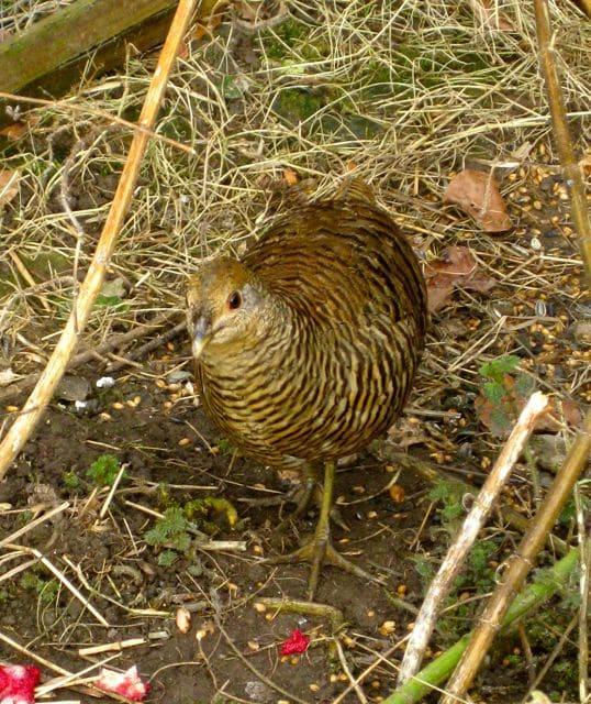 birds - gold hen
