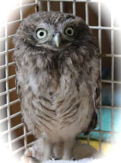 little owl is settling in pet samaritans. Black Bedroom Furniture Sets. Home Design Ideas