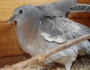 birds - pigeon injured