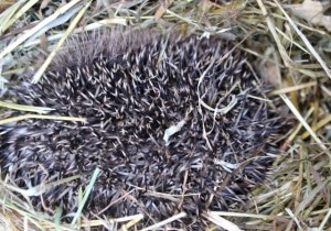 hedgehogs - in hay