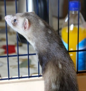 ferret - sunday