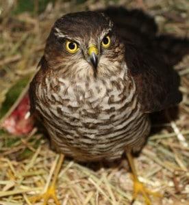 bird - injured Nov