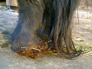 rufus - hooves 3