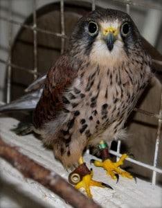 birds - kizzy kestrel 2