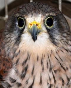 birds - kizzy kestrel 4