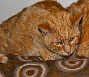 cats - ginger tina 6