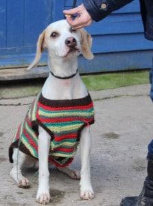 dogs - beagle 6