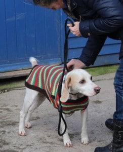 dogs - beagle 7