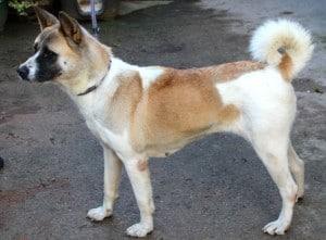 dogs - huskita