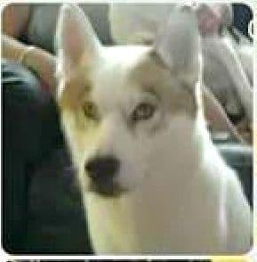 dogs - husky 10