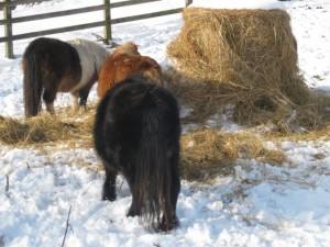 ponies - haylage