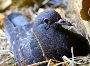 birds - little dove 2