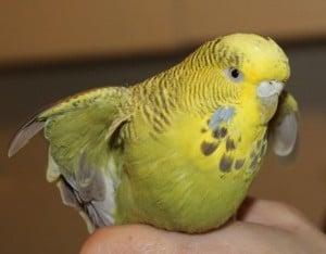 birds - budgie 5