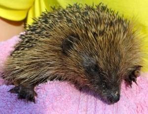 hedgehogs - Womble