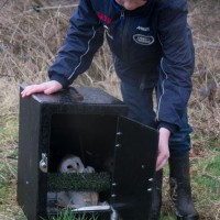 birds - barn owl release