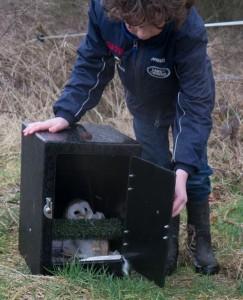 birds - barn owl release