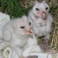 birds - owlets 12