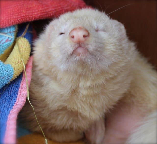 Three Ferrets Lost in Old Whittington