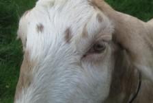 goats - buffy