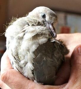 birds - dove attack 5