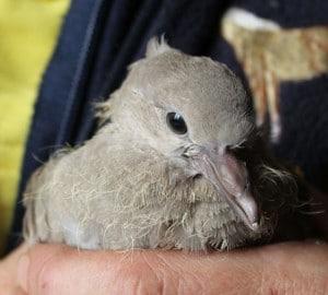 birds - dove attacked