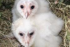birds - owlets 20