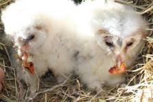 birds - owlets 30