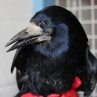 birds - rook 2