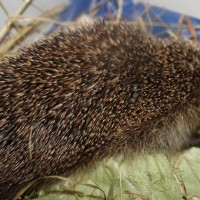 hedgehogs - injured 24.5.