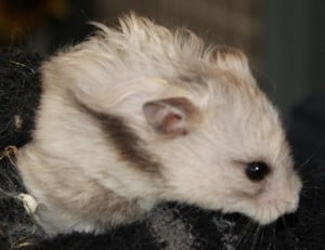 hamsters - big daddy 2
