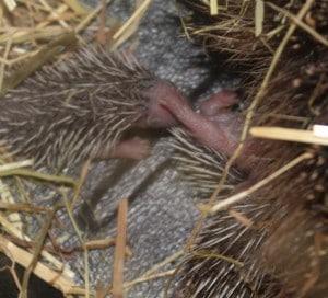 hedgehogs - family