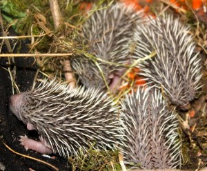 hedghog orphans 5