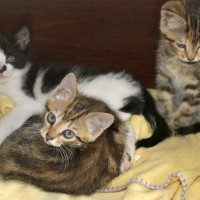 kittens - farm tabbies 2